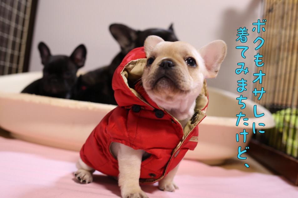 フレブル 子犬 洋服 オサレ 3