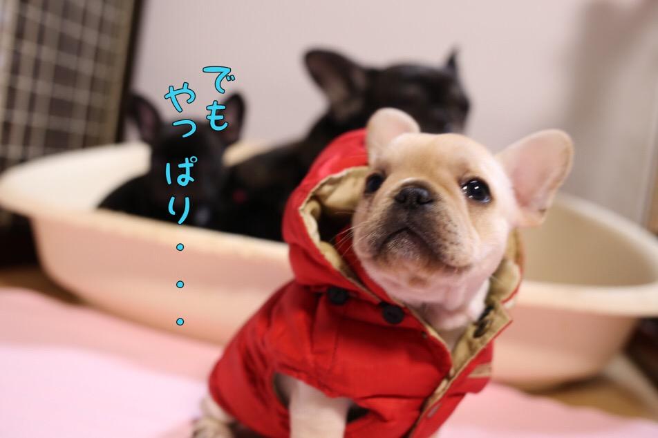 フレブル 子犬 洋服 オサレ 4