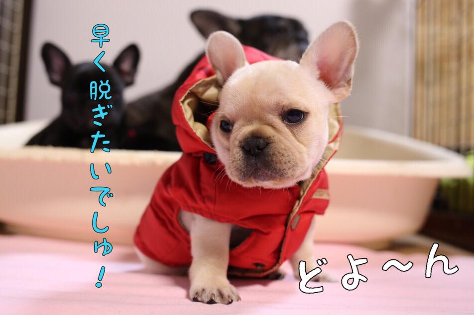 フレブル 子犬 洋服 オサレ 5