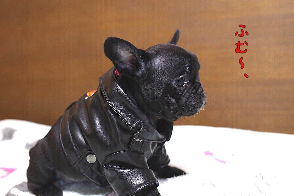 フレンチブルドッグ コスプレ 子犬 2