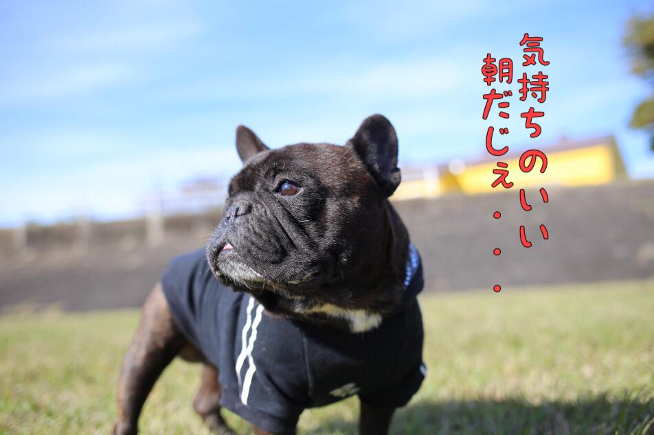 フレブル イーゴォ jkcチャンピオン 子犬 1