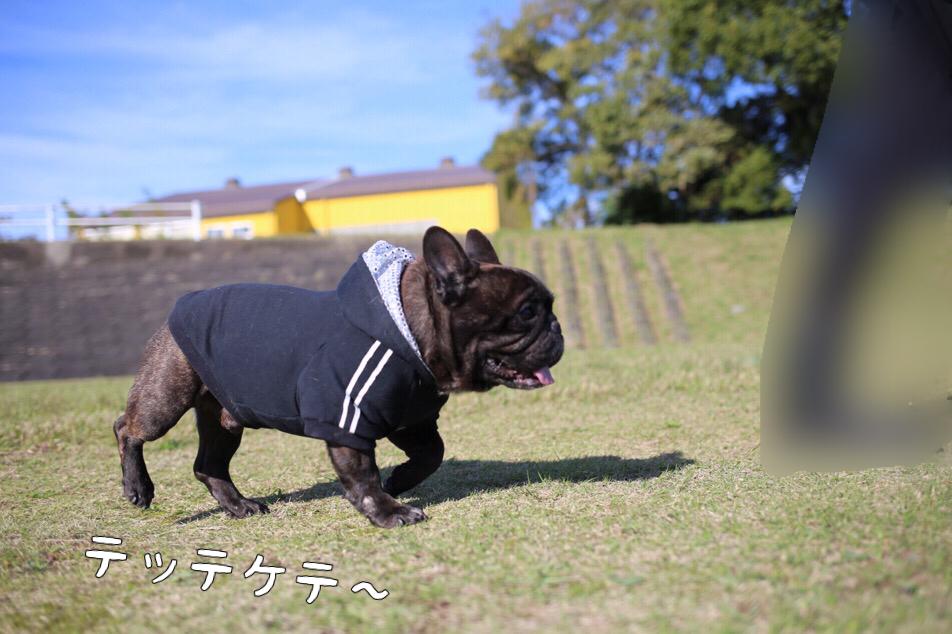 フレブル イーゴォ jkcチャンピオン 子犬 2
