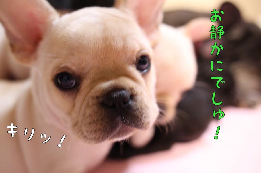 フレブル 子犬 昼寝 7