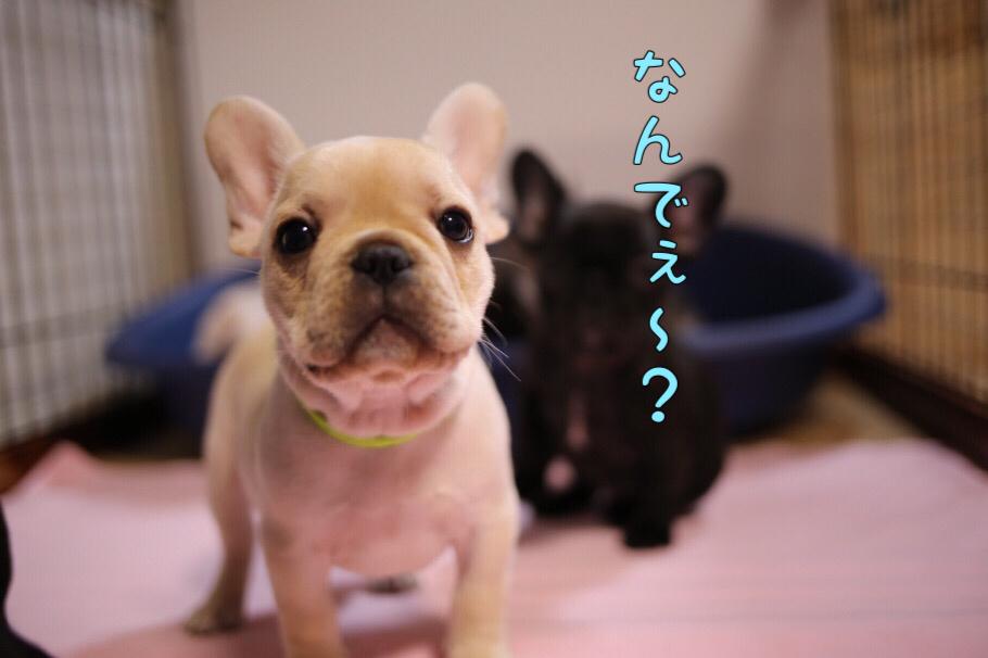 フレブル 子犬 遊びポーズ 3