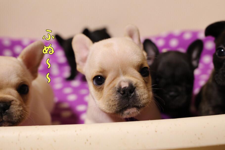 フレブルの子犬 ふぬー 2