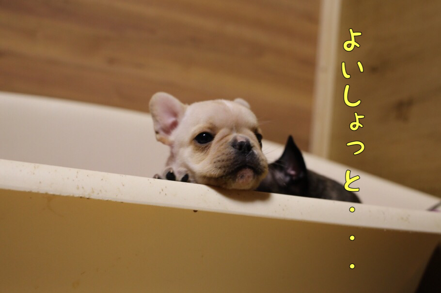 フレブルの子犬 ふぬー 3
