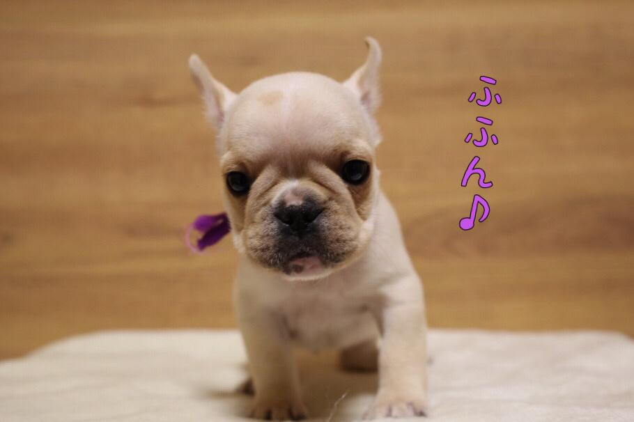 フレブル 子犬写真 一回目 3