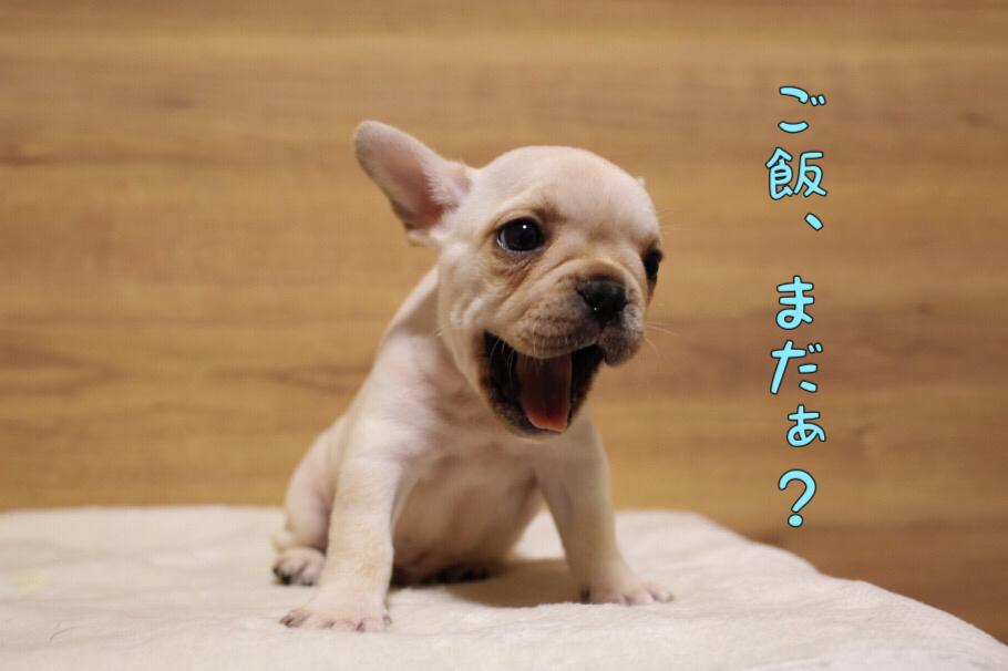 フレブル 子犬写真 一回目 6