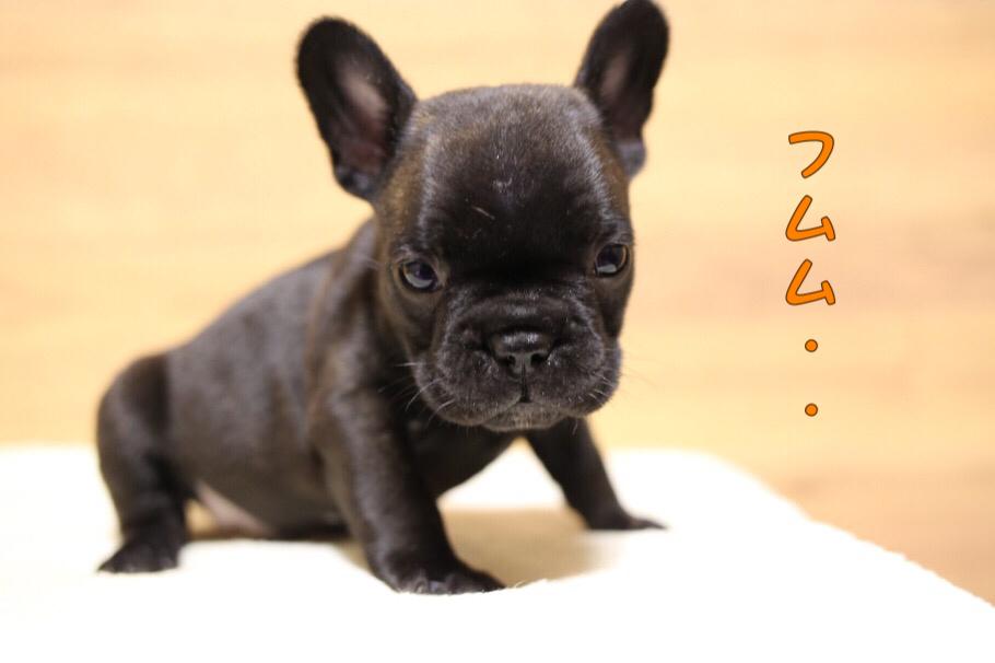 フレブル 子犬写真 一回目 7