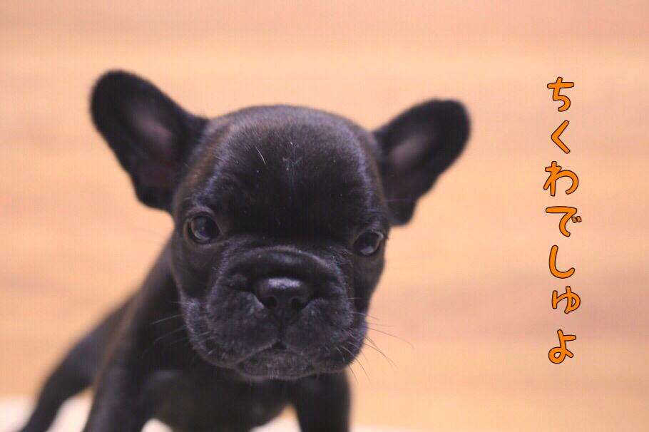 フレブル 子犬写真 一回目 8