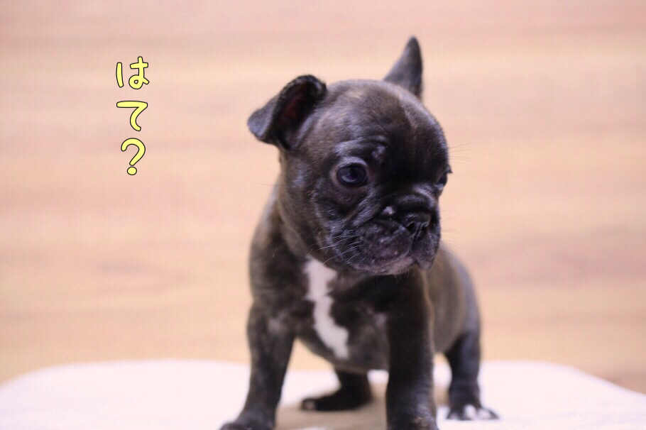 フレブル 子犬写真 一回目 0