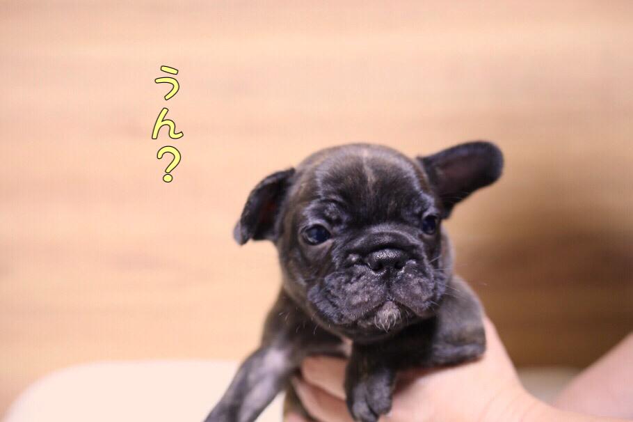 フレブル 子犬写真 一回目 9