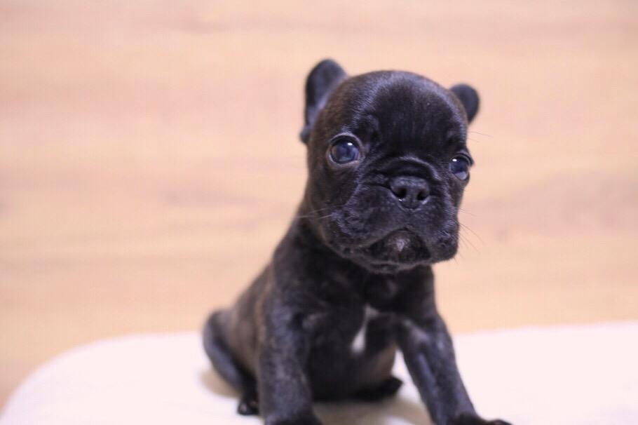 フレブル 子犬写真 二回目 1