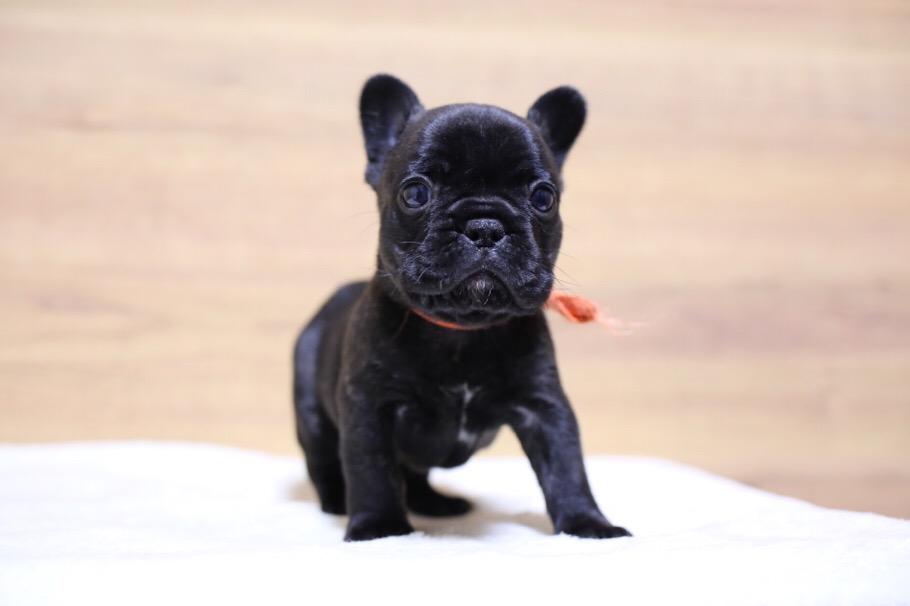 フレブル 子犬写真 二回目 2