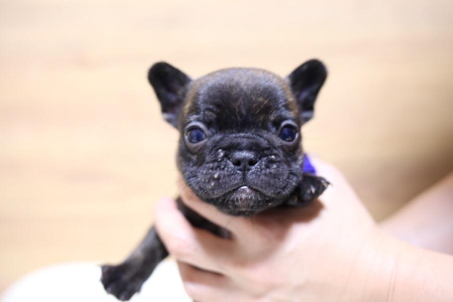 フレブル 子犬写真 二回目 7