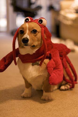 ロブスター犬