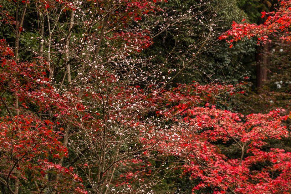 2015.11.19金剛輪寺の庭園10
