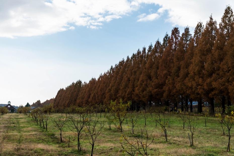 2015.12.05高島のメタセコイア並木10