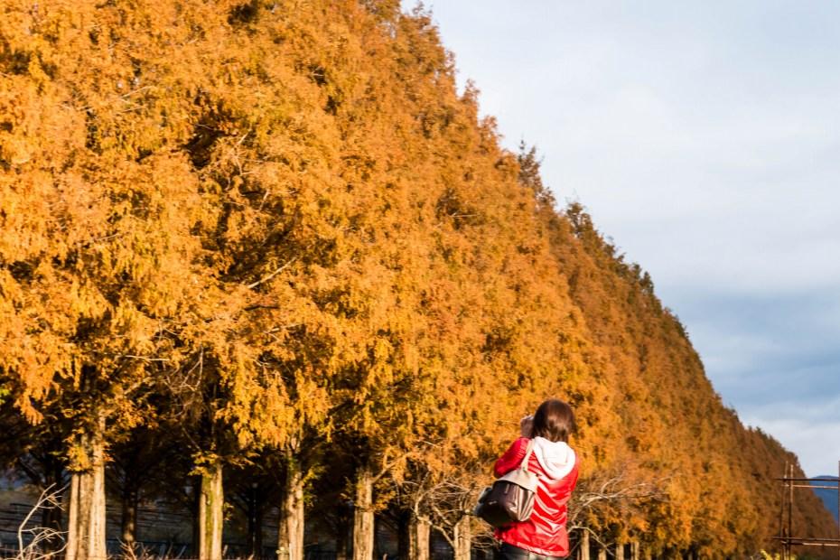 2015.12.05高島のメタセコイア並木8