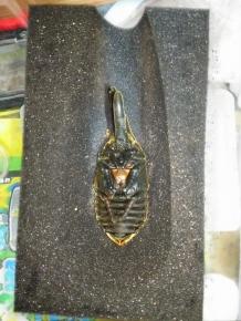 トリニダ♂黒神