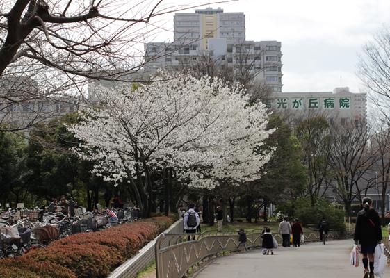 満開の白い桜、種類が違うのだろう