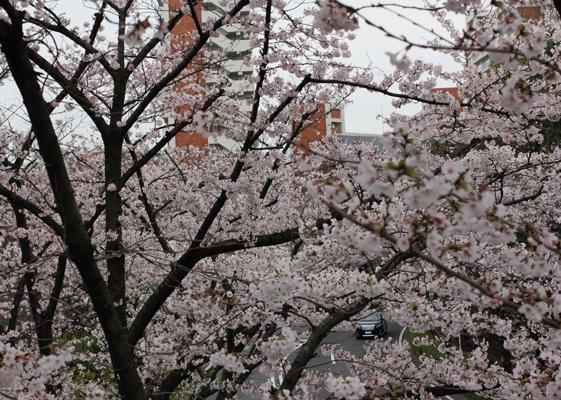 桜越しの団地