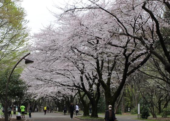 赤塚口桜並木