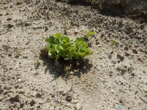 野菜の発芽