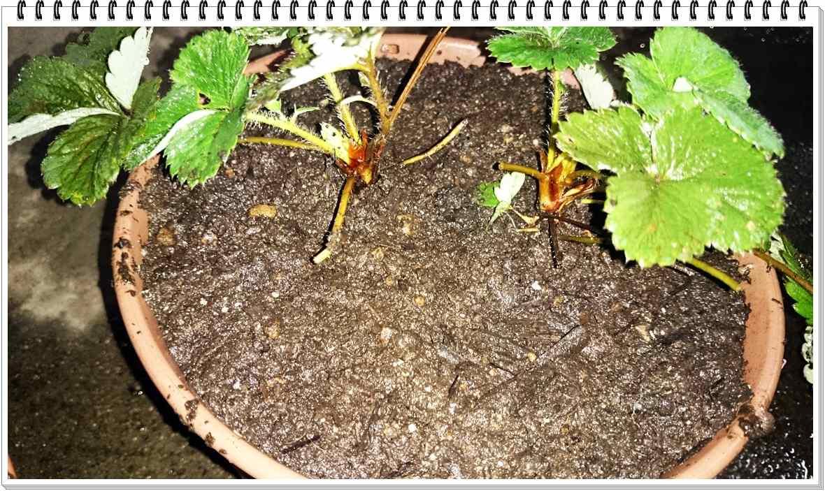 20151115_イチゴ植え替え_3