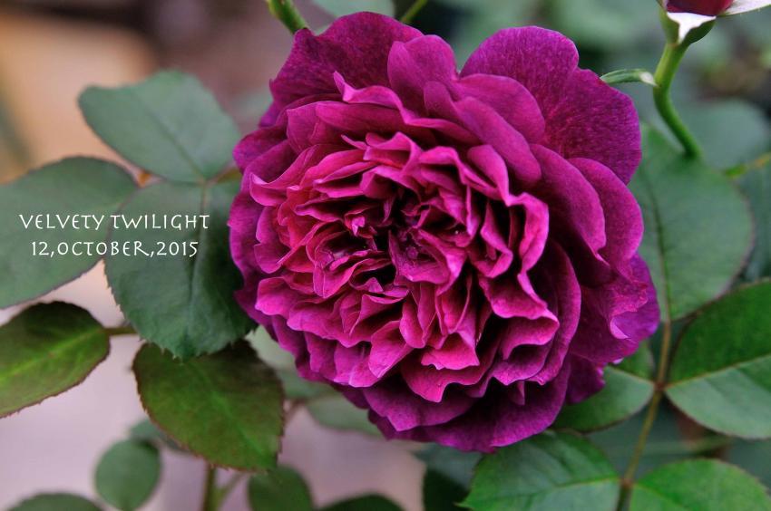 DSC_8856-L_convert_20151013151515.jpg