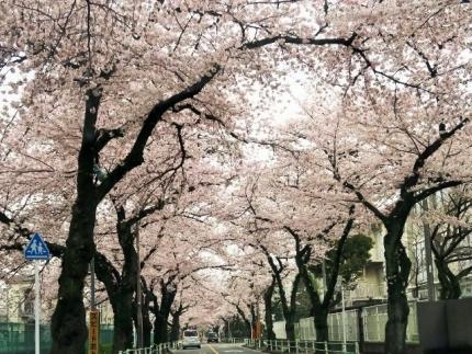 16-4-3 桜1