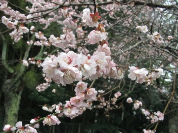 2016年春・お寺・花1
