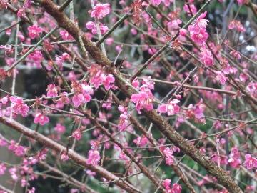 2016年春・お寺・花5