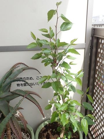 桑の木20160410