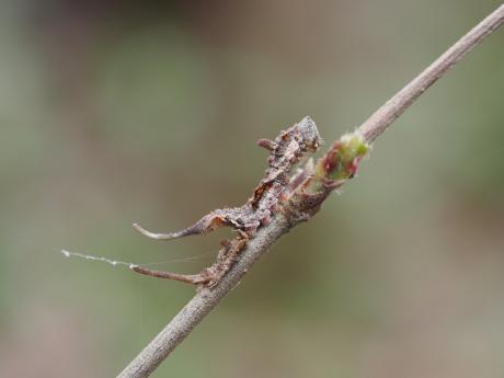 アシベニカギバ幼虫