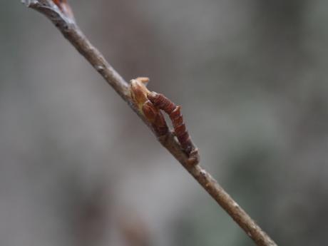 カギシロスジアオシャク幼虫3