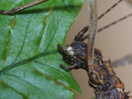 トゲナナフシ成虫