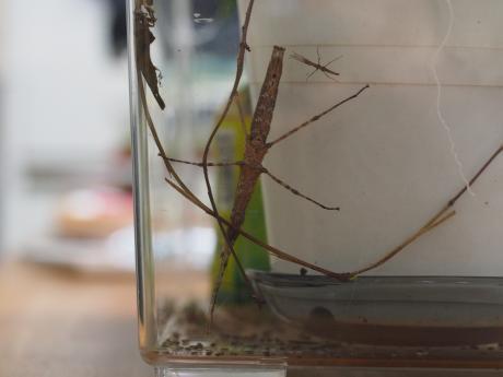 トゲナナフシ成虫&幼虫