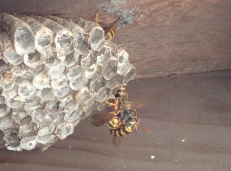セグロアシナガバチ2
