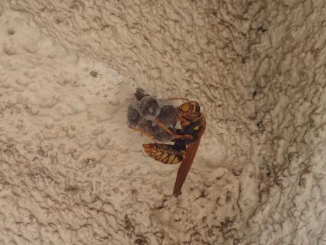 セグロアシナガバチ3