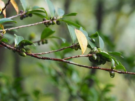 モンキツノカメムシ幼虫2