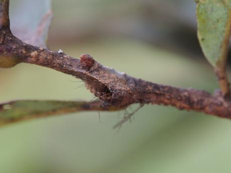 リンゴコブガ幼虫2