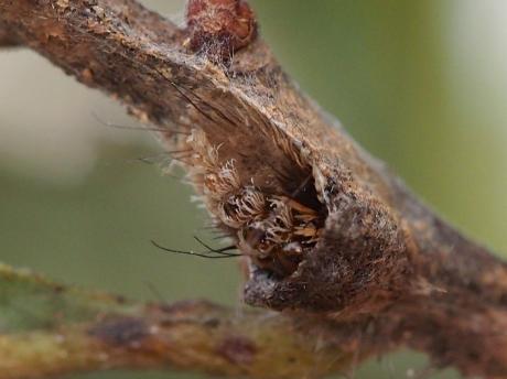 リンゴコブガ幼虫