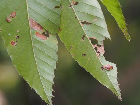 カギバイラガ幼虫4