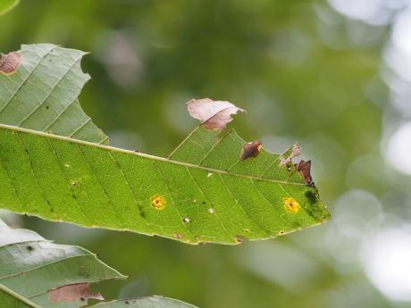 カギバイラガ幼虫5