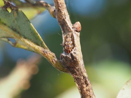リンゴコブガ越冬巣
