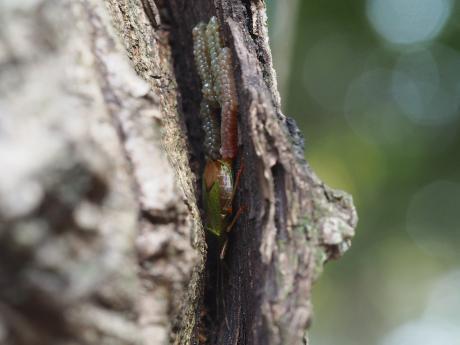 クヌギカメムシ産卵