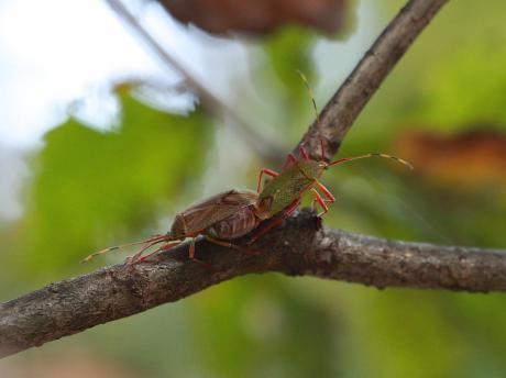 クヌギカメムシの一種交尾