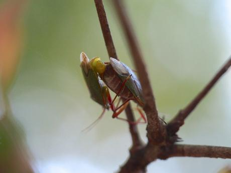クヌギカメムシの一種交尾2