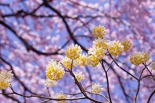 みつまた(結香)の花